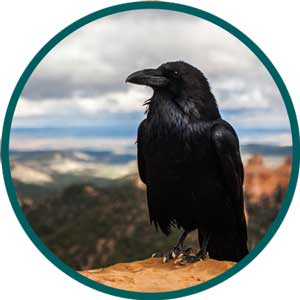 raven brilliant bird